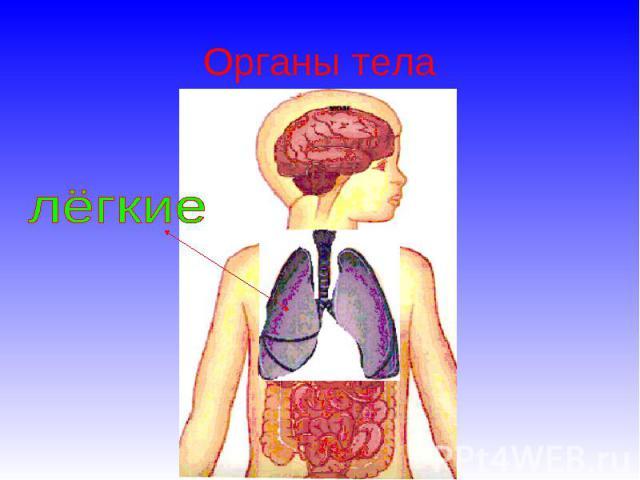 Органы тела лёгкие