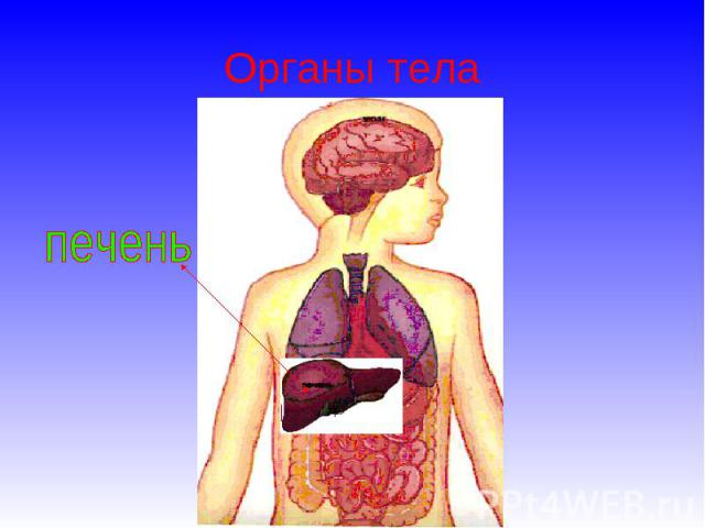 Органы тела печень