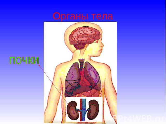 Органы тела почки