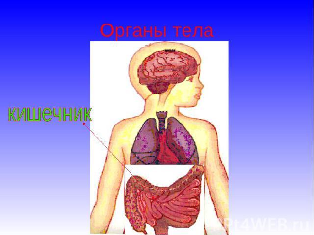 Органы тела кишечник