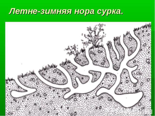 Летне-зимняя нора сурка.