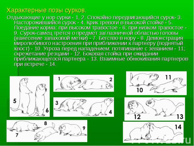 Характерные позы сурков.Отдыхающие у нор сурки - 1, 2. Спокойно передвигающийся сурок- 3. Насторожившийся сурок - 4. Крик тревоги в высокой стойке - 5. Поедание корма: при высоком травостое - 6; при низком травостое - 9. Сурок-самец трется о предмет…