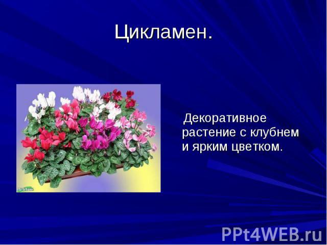 Цикламен. Декоративное растение с клубнем и ярким цветком.