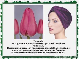 Тюльпан — род многолетних луковичных растений семейства Лилейные. Название произ