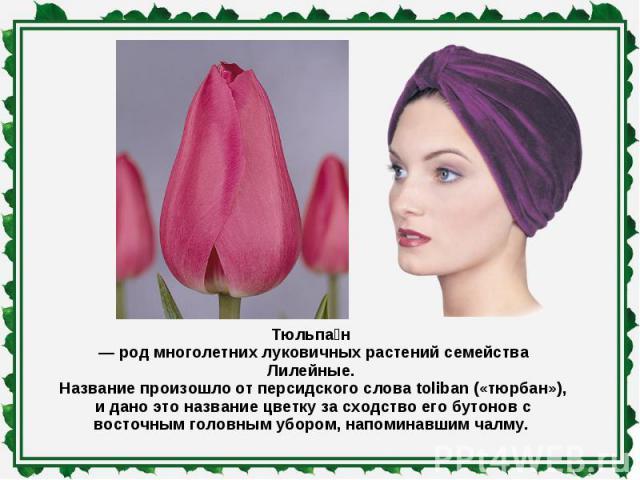 Тюльпан — род многолетних луковичных растений семейства Лилейные. Название произошло от персидского слова toliban («тюрбан»), и дано это название цветку за сходство его бутонов с восточным головным убором, напоминавшим чалму.