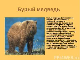 Бурый медведь Бурый медведь (Ursus arctos) широко распространен в Северной Евраз