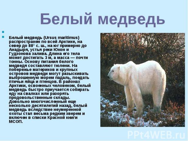 Белый медведь Белый медведь (Ursus maritimus) распространен по всей Арктике, на север до 88° с. ш., на юг примерно до Анадыря, устья реки Юкон и Гудзонова залива. Длина его тела может достигать 3 м, а масса — почти тонны. Основу питания белого медве…