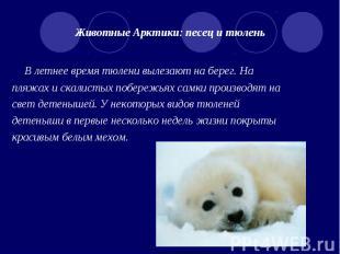 Животные Арктики: песец и тюлень В летнее время тюлени вылезают на берег. На пля
