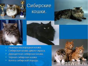 Сибирские кошки. Невская маскарадная кошка.Сибирская кошка дикого окраса.Двухцве