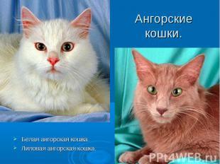 Ангорские кошки. Белая ангорская кошка.Лиловая ангорская кошка.