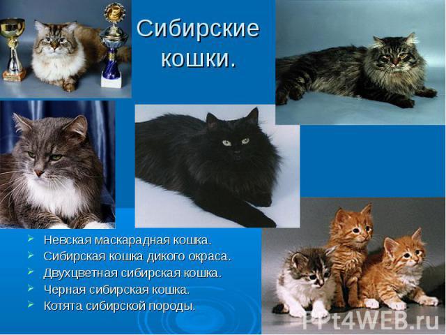 Сибирские кошки. Невская маскарадная кошка.Сибирская кошка дикого окраса.Двухцветная сибирская кошка.Черная сибирская кошка.Котята сибирской породы.