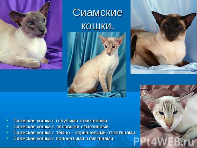 Сиамские кошки. Сиамская кошка с голубыми отметинами.Сиамская кошка с лиловыми отметинами.Сиамская кошка с тёмно – коричневыми отметинами.Сиамская кошка с полосатыми отметинами.