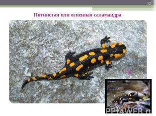 Пятнистая или огненная саламандра