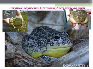 Лягушка Водонос или Пустынная Австралийская жаба