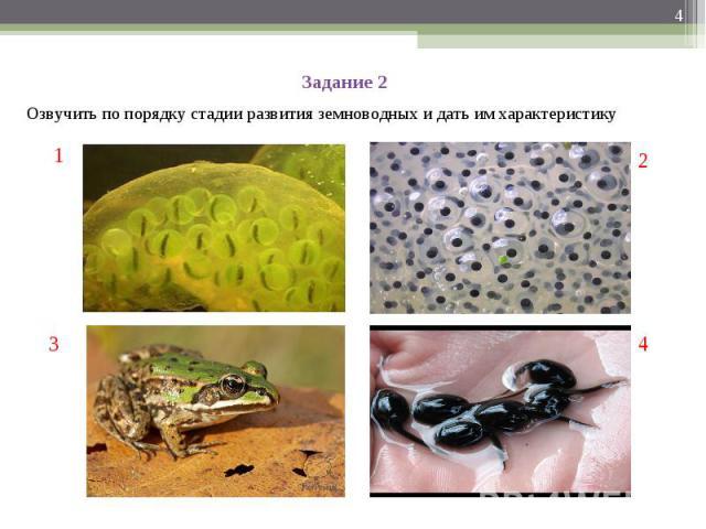 Задание 2Озвучить по порядку стадии развития земноводных и дать им характеристику