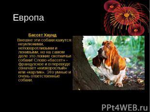 Европа Бассет Хаунд Внешне эти собаки кажутся неуклюжими, неповоротливыми и лени