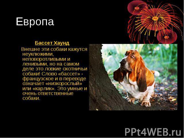 Европа Бассет Хаунд Внешне эти собаки кажутся неуклюжими, неповоротливыми и ленивыми, но на самом деле это ловкие охотничьи собаки! Слово «бассет» - французское и в переводе означает «низкорослый» или «карлик». Это умные и очень ответственные собаки.