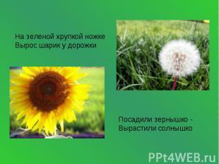 На зеленой хрупкой ножкеВырос шарик у дорожки Посадили зернышко -Вырастили солны