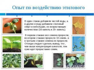 Опыт по воздействию этилового спирта на рост и развитие растения В один стакан д