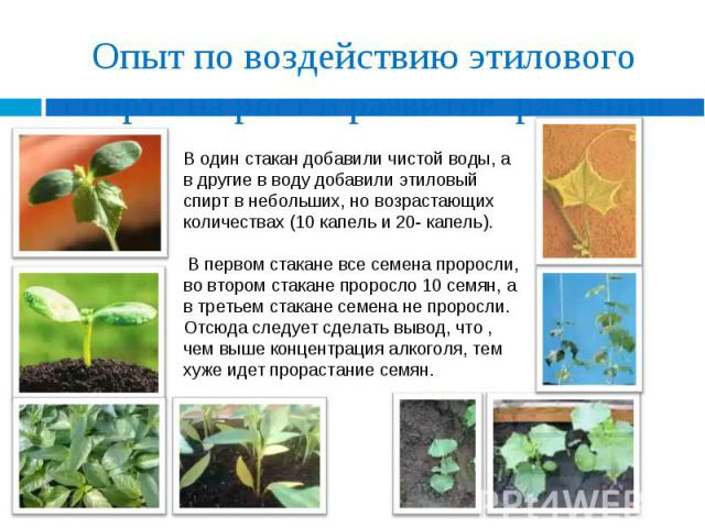 Опыт по воздействию этилового спирта на рост и развитие растения В один стакан добавили чистой воды, а в другие в воду добавили этиловый спирт в небольших, но возрастающих количествах (10 капель и 20- капель). В первом стакане все семена проросли, в…