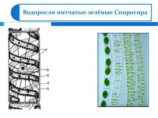 Водоросли нитчатые зелёные Спирогира