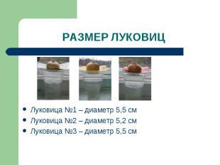 РАЗМЕР ЛУКОВИЦ Луковица №1 – диаметр 5,5 смЛуковица №2 – диаметр 5,2 смЛуковица