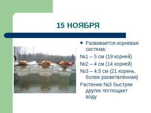 15 НОЯБРЯ Развивается корневая система: №1 – 5 см (19 корней)№2 – 4 см (14 корне