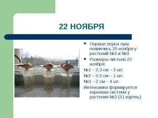 22 НОЯБРЯ Первые перья лука появились 20 ноября у растений №1 и №3Размеры листье