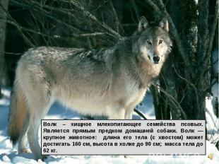 Волк – хищное млекопитающее семейства псовых. Является прямым предком домашней с