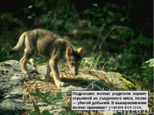 Подросших волчат родители кормят отрыжкой из съеденного мяса, позже — убитой доб