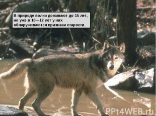 В природе волки доживают до 15 лет, но уже в 10—12 лет у них обнаруживаются приз