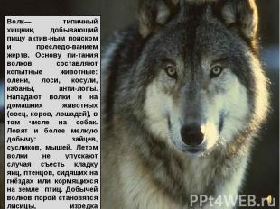 Волк— типичный хищник, добывающий пищу актив-ным поиском и преследо-ванием жертв