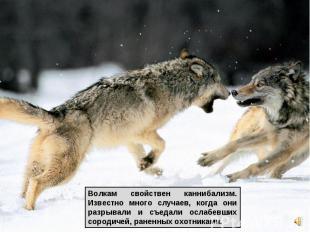 Волкам свойствен каннибализм. Известно много случаев, когда они разрывали и съед