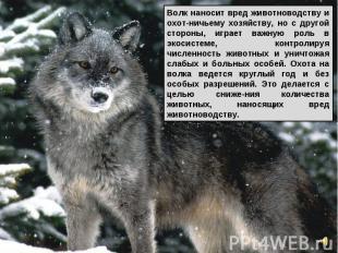 Волк наносит вред животноводству и охот-ничьему хозяйству, но с другой стороны,