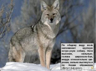 По общему виду волк напоминает крупную остро-ухую собаку. Ноги высокие, сильные;
