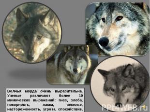 Волчья морда очень выразительна. Ученые различают более 10 мимических выражений: