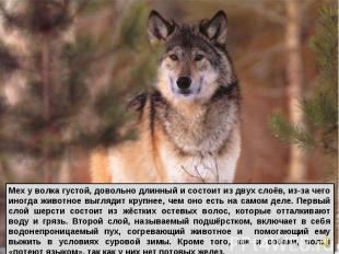 Мех у волка густой, довольно длинный и состоит из двух слоёв, из-за чего иногда
