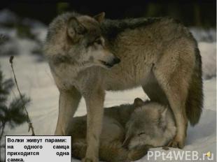 Волки живут парами: на одного самца приходится одна самка.