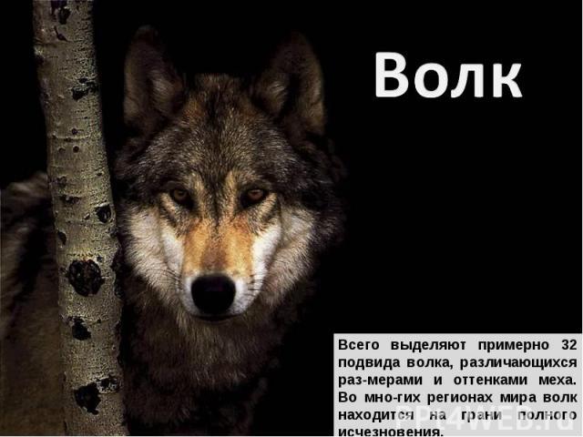 Волк Всего выделяют примерно 32 подвида волка, различающихся раз-мерами и оттенками меха. Во мно-гих регионах мира волк находится на грани полного исчезновения.