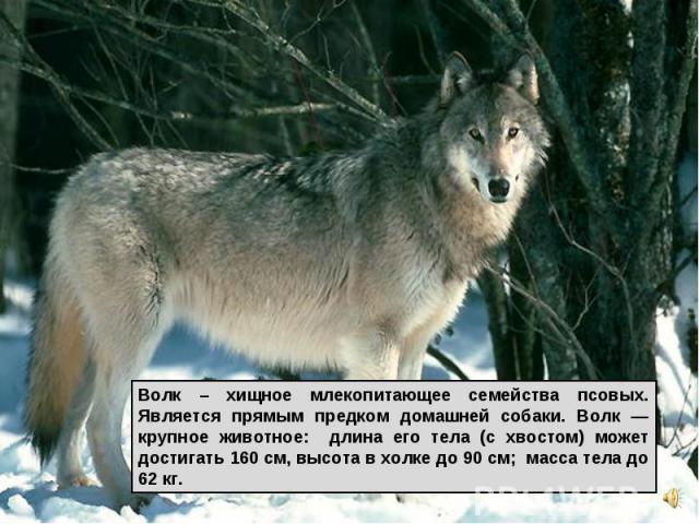 Волк – хищное млекопитающее семейства псовых. Является прямым предком домашней собаки. Волк — крупное животное: длина его тела (с хвостом) может достигать 160 см, высота в холке до 90 см; масса тела до 62 кг.