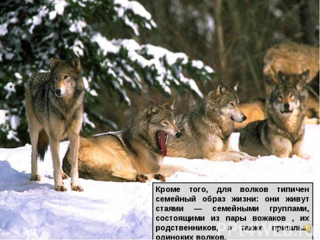 Кроме того, для волков типичен семейный образ жизни: они живут стаями — семейными группами, состоящими из пары вожаков , их родственников, а также пришлых одиноких волков.