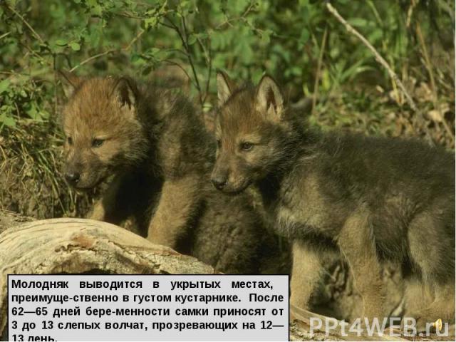 Молодняк выводится в укрытых местах, преимуще-ственно в густом кустарнике. После 62—65 дней бере-менности самки приносят от 3 до 13 слепых волчат, прозревающих на 12—13 день.