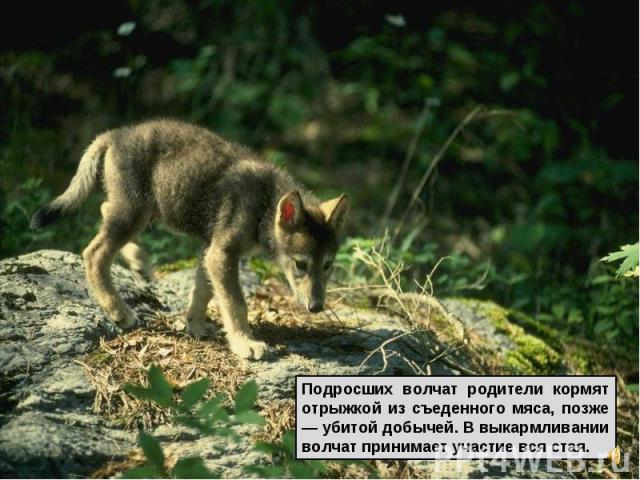 Подросших волчат родители кормят отрыжкой из съеденного мяса, позже — убитой добычей. В выкармливании волчат принимает участие вся стая.