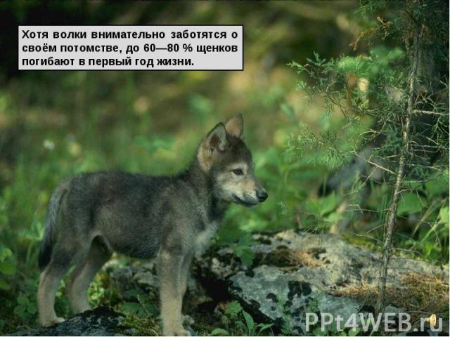 Хотя волки внимательно заботятся о своём потомстве, до 60—80% щенков погибают в первый год жизни.