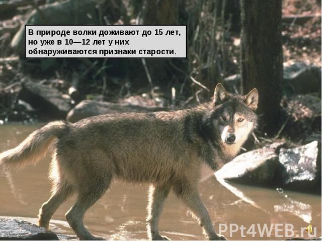 В природе волки доживают до 15 лет, но уже в 10—12 лет у них обнаруживаются признаки старости.