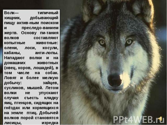 Волк— типичный хищник, добывающий пищу актив-ным поиском и преследо-ванием жертв. Основу пи-тания волков составляют копытные животные: олени, лоси, косули, кабаны, анти-лопы. Нападают волки и на домашних животных (овец, коров, лошадей), в том числе …