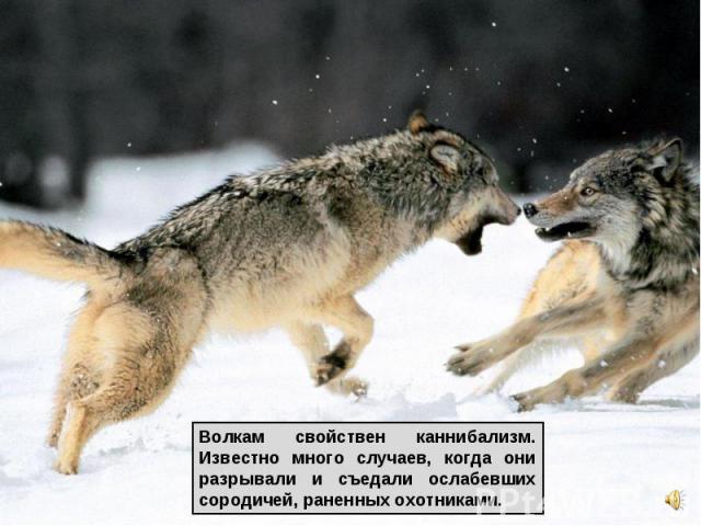 Волкам свойствен каннибализм. Известно много случаев, когда они разрывали и съедали ослабевших сородичей, раненных охотниками.