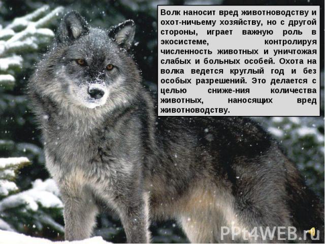 Волк наносит вред животноводству и охот-ничьему хозяйству, но с другой стороны, играет важную роль в экосистеме, контролируя численность животных и уничтожая слабых и больных особей. Охота на волка ведется круглый год и без особых разрешений. Это де…
