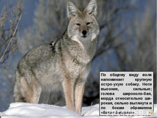 По общему виду волк напоминает крупную остро-ухую собаку. Ноги высокие, сильные; голова широколо-бая, морда относительно ши-рокая, сильно вытянута и по бокам обрамлена «бакен-бардами».
