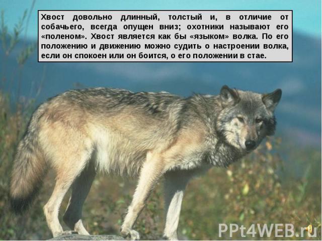 Хвост довольно длинный, толстый и, в отличие от собачьего, всегда опущен вниз; охотники называют его «поленом». Хвост является как бы «языком» волка. По его положению и движению можно судить о настроении волка, если он спокоен или он боится, о его п…
